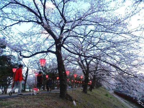 住吉堤防 桜並木 画像2