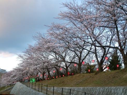 住吉堤防 桜並木、廿日市市の桜の名所は ぼんぼりで