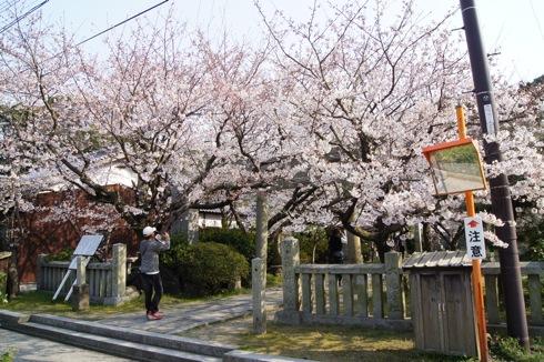 大崎下島 御手洗(広島)の天満神社の桜 画像2