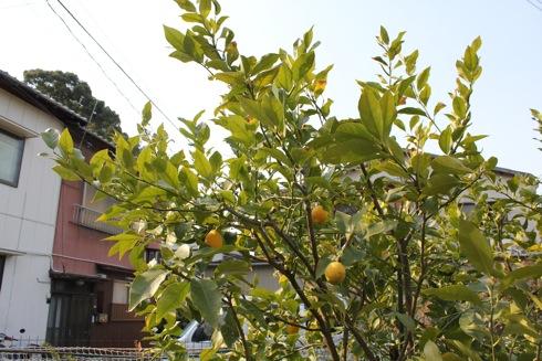 大崎下島 御手洗(広島)の天満神社の桜 画像4