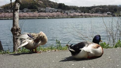 庄原市 上野公園の桜 画像