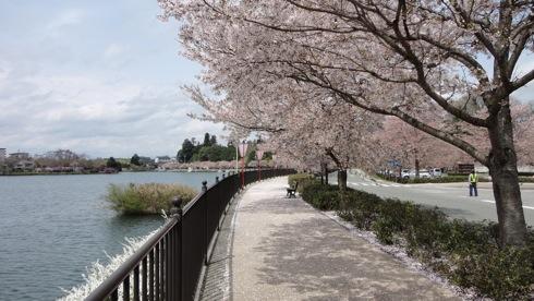 庄原市 上野公園の桜、上野池の遊歩道を散歩しながら