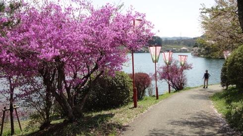 庄原市 上野公園の桜 画像6