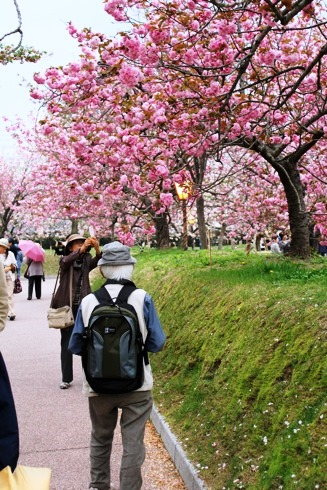広島 造幣局の桜の通り抜け(花のまわりみち)2012 画像2
