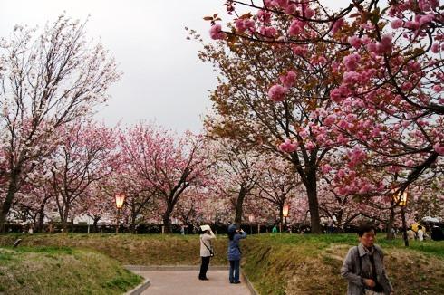 広島 造幣局の桜の通り抜け(花のまわりみち)2012 画像5