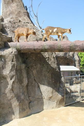 広島市安佐動物園 ヤギ画像1