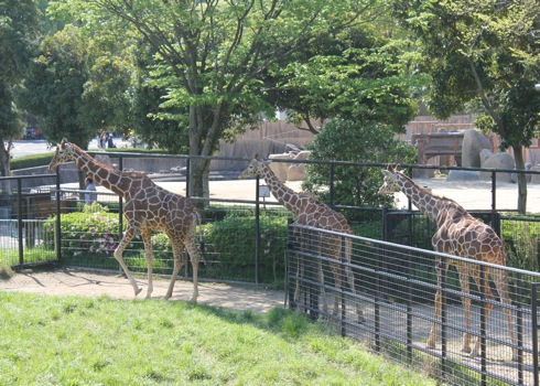 広島市安佐動物園 キリン画像
