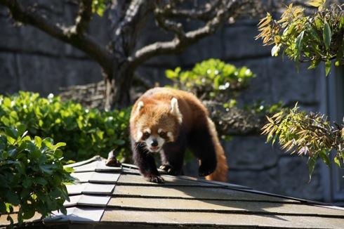 広島市安佐動物園 レッサーパンだ