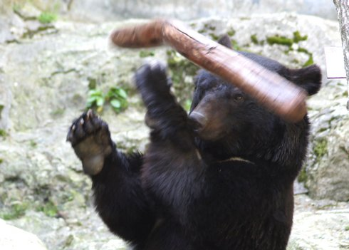 カンフー熊のクラウド君 動画、技に磨きがかかり 超絶 棒回し