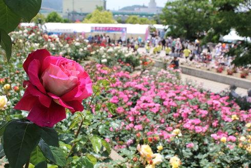 福山ばら祭2012、70万本が満開でバラの香りに