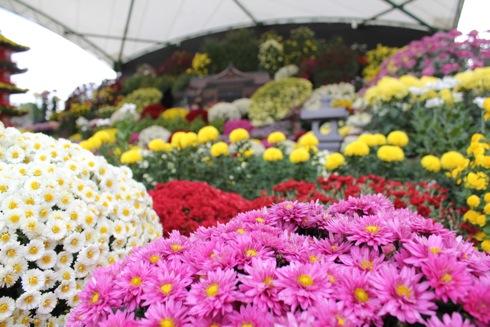 広島城 大菊花展、色とりどりの菊が華やかに