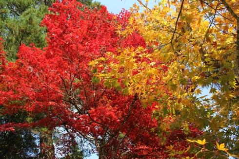 宮島 紅葉谷公園 紅葉がピークに