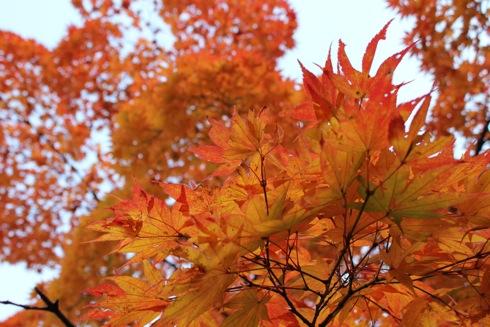 2012 紅葉谷公園のもみじ オレンジ色アップ