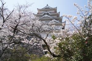 福山城の桜 画像