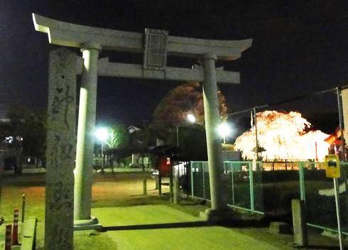 観音神社の枝垂桜、美しく満開に!夜桜ライトアップ