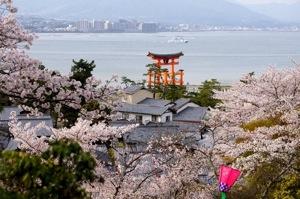 宮島の桜 画像