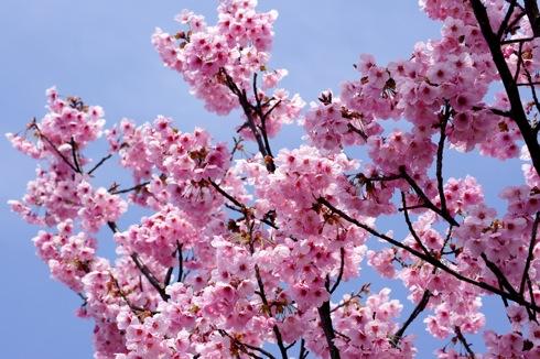 音戸の瀬戸公園の桜 の画像3