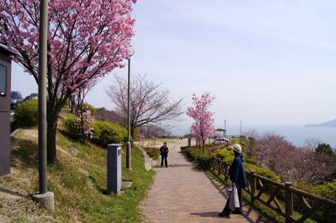 音戸の瀬戸公園の桜 画像1