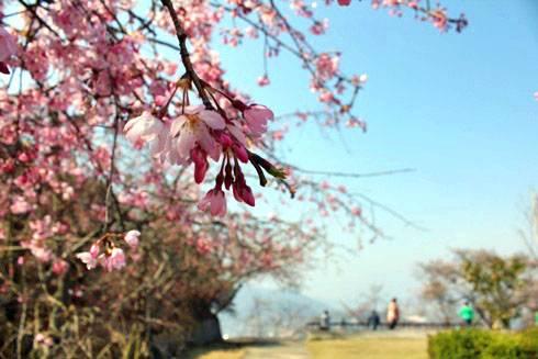 音戸の瀬戸公園 高鳥台の頂上広場 の桜