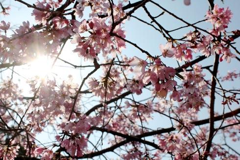 音戸の瀬戸公園 高鳥台の頂上広場 の桜の画像