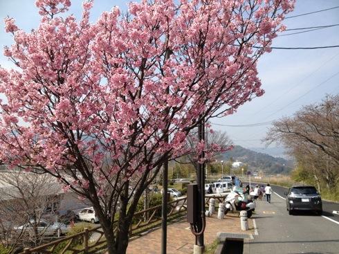 音戸の瀬戸公園の周辺の桜 画像2