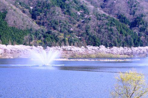 八千代湖の桜