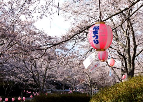 土師ダム(八千代湖)を囲む桜
