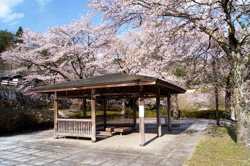 土師ダムの桜 のどごえ公園 画像1