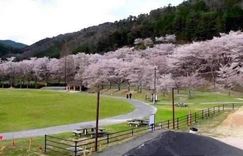 土師ダムの桜 のどごえ公園 画像3