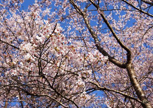 土師ダムの桜 のどごえ公園 画像4