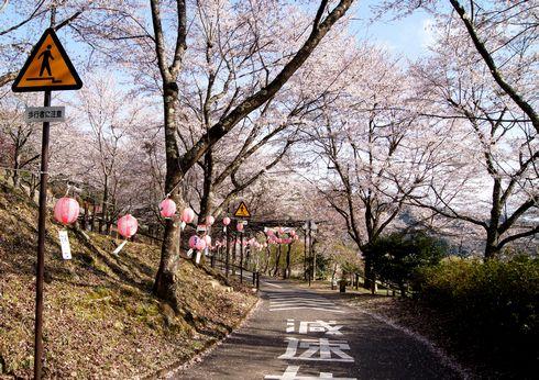 土師ダムの桜 のどごえ公園 画像6