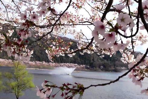 土師ダムの桜 噴水と一緒に