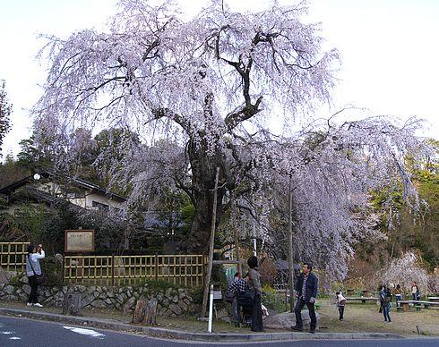 神原の枝垂桜、広島県の天然記念物 滝のように流れる美しい桜
