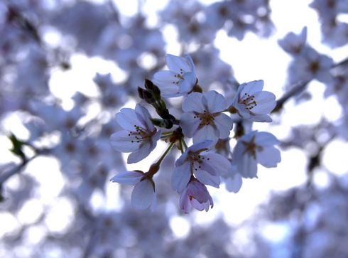 神原のしだれ桜、広島県の天然記念物 滝のように流れる美しい桜