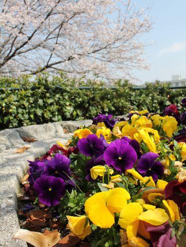 広島市 川沿いの桜 とパンジー