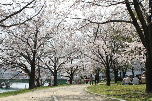 広島市 川沿いの桜 画像3