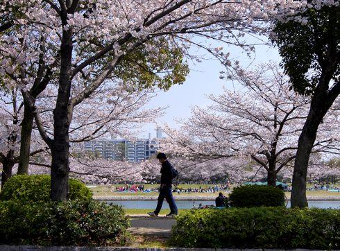 桜が彩る広島 平和公園と太田川・元安川の風景
