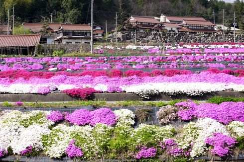 北広島町の芝桜が美しい!田んぼと町を彩る鮮やかな風景