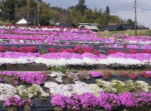 北広島町、水田の周りを敷き詰める芝桜は中国道からもハッキリと見える