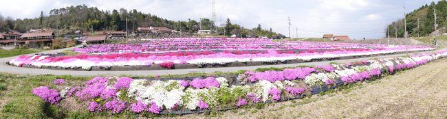 北広島町本地の水田まわりに咲く芝桜の風景 パノラマ