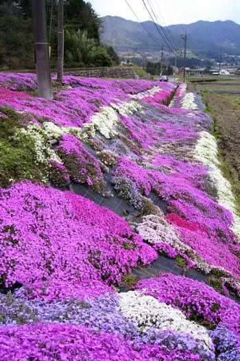 北広島町、水田と芝桜は中国道からもハッキリと
