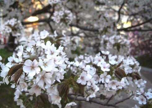 広島 造幣局桜の通り抜けライトアップ8