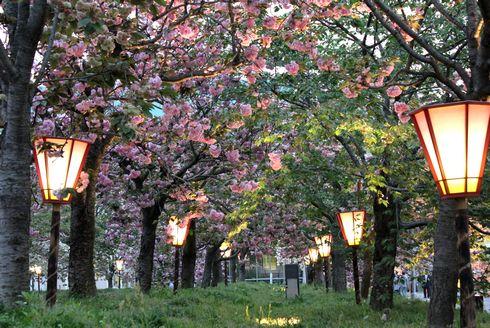 広島 造幣局花のまわりみち2013 ライトアップ1