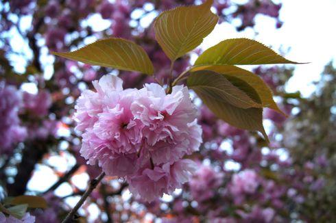 広島 造幣局桜の通り抜けライトアップ 画像