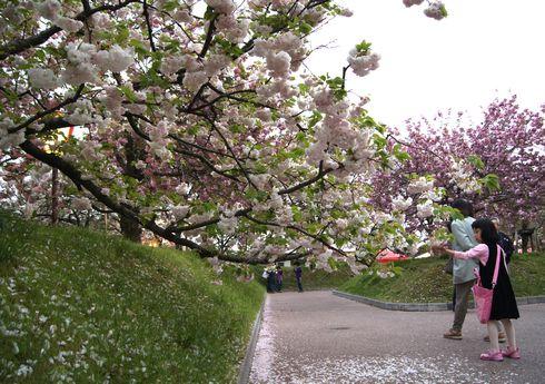 広島 造幣局桜の通り抜けライトアップ6