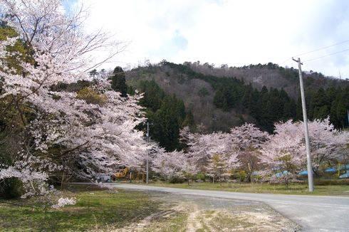 安芸太田町 メガソーラー発電所と桜