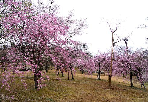 鏡山公園の桜と、西条を見渡せる鏡城跡からの風景