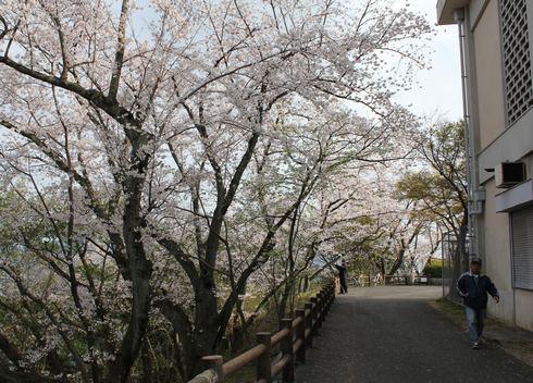 黄金山 桜が満開の様子