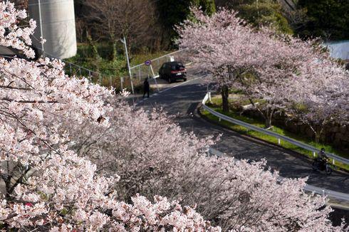 廿日市市 大田神社の桜の写真1