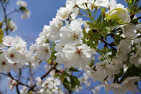 廿日市市 大田神社の白い桜の写真